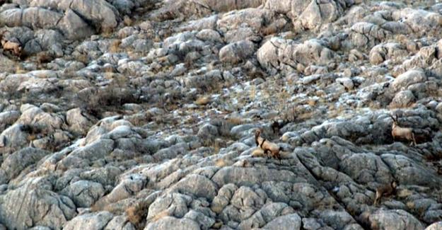 Elbistan'da yaban keçilerinin envanteri çıkarılıyor