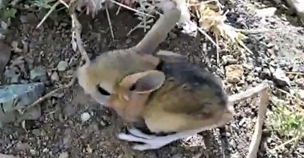 Arap Tavşanı Kahramanmaraş'ta görüntülendi