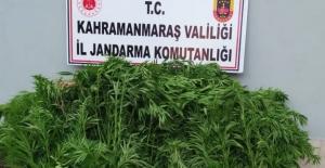 Elbistan'da bahçede Hint keneviri yetiştiren 2 şüpheli yakalandı