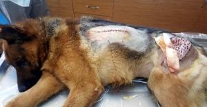 Sokak köpeğine doku nakli yapıldı