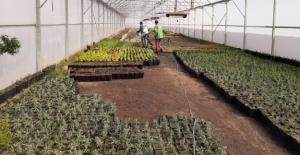 Belediye Seralarında 20 Farklı Çeşitte, 200 Bin Çiçek Yetiştirilecek