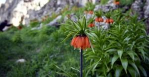Dünyanın en nadide çiçeği Elbistan'da yetişiyor