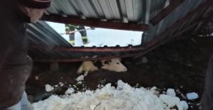 Yoğun kar yağışı sonrası besi ahırlarının çatısı çöktü