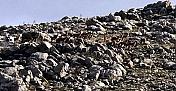 Elbistan'da dağ keçileri görüntülendi